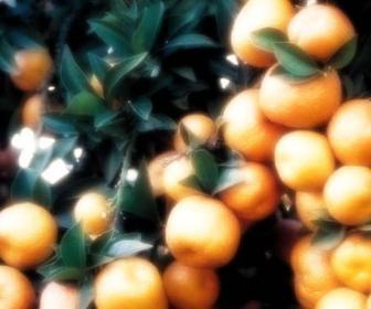 Naranja dulce, Citrus aurantium