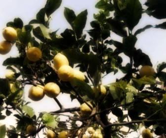 Limón cítrico