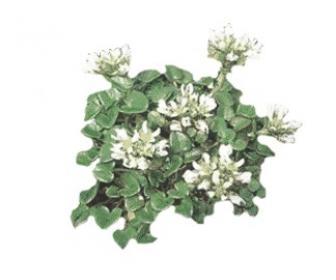 Planta Coclearia officinalis