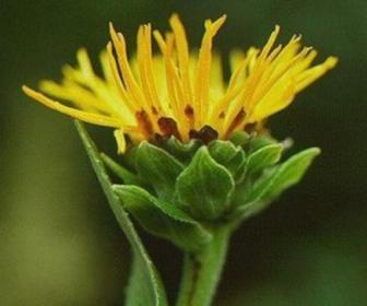 Enula en homeopatía