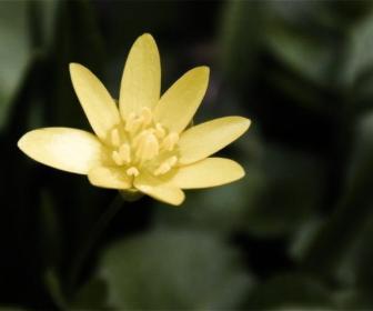 Favagello, Ranunculus ficaria