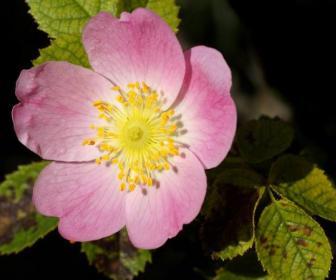 Té de rosa mosqueta