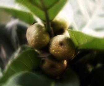 Ficus: ficus carica