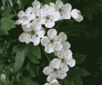 Remedios naturales con espino