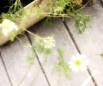 Manzanilla común Matricaria recutita