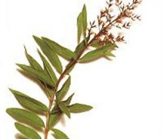 Hierba Limoncina