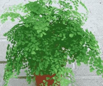Planta de culantrillo