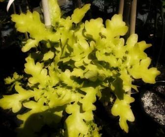 Quercus robur L., Roble o roble inglés