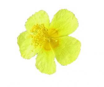 Rosa de roca, helianthus amarillo