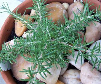 planta de romero