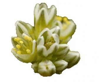 La flor de Bach: Scleranthus