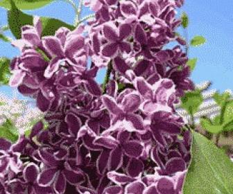 Lila, Syringa vulgaris