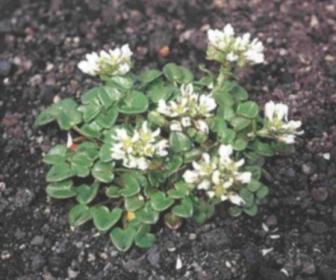 Té de hierbas Coclearia