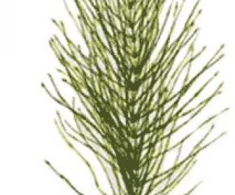 Té de hierbas de cola de caballo