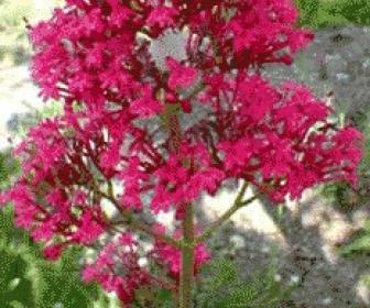 Valeriana roja