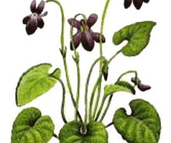 Violetas violetas