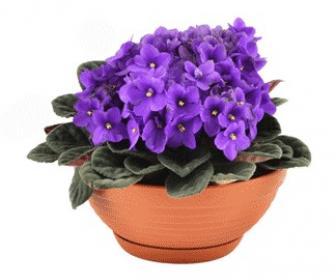 Dulce violeta